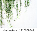 vine or creeping plant growth... | Shutterstock . vector #1113308369