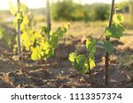 young grape bushes against the... | Shutterstock . vector #1113357374