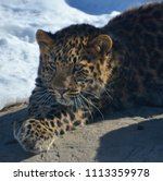 the amur leopard is a leopard...   Shutterstock . vector #1113359978