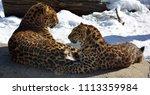 the amur leopard is a leopard...   Shutterstock . vector #1113359984