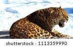 the amur leopard is a leopard...   Shutterstock . vector #1113359990