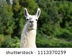 portrait of a white llama on... | Shutterstock . vector #1113370259