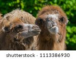 two camels  one adult and one... | Shutterstock . vector #1113386930