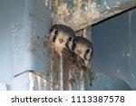 southeastern kestrel babies...   Shutterstock . vector #1113387578