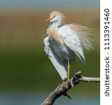 western cattle egret  bubulcus... | Shutterstock . vector #1113391460