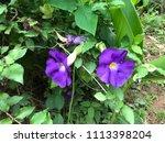 purple blooming flowers | Shutterstock . vector #1113398204