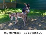 two donkeys  mother and a cub...   Shutterstock . vector #1113405620