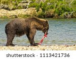 Small photo of A famish giant brown bear eating a salmon in a river in the Katmai peninsula, Alaska. Hungry bear on the shore of an Alaskan river eating salmons