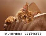 Stock photo maine coon kitten 111346583