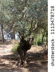 old olive tree   Shutterstock . vector #1113478718