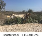 cows on the dirt road. | Shutterstock . vector #1113501293