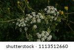 Interior California Buckwheat