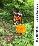 a butterfly and yellow blooming ... | Shutterstock . vector #1113513188