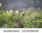 a golden finch perched on a... | Shutterstock . vector #1113526100