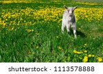 white young goat on the green... | Shutterstock . vector #1113578888