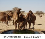 camels drinking at a watering... | Shutterstock . vector #1113611294