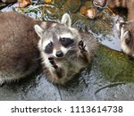 Small photo of a closeup of a raccoon Procyon lotor common racoon begging asking for food at the zoo