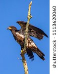 juvenile eagle on a branch | Shutterstock . vector #1113620060