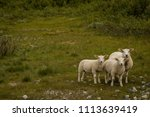 three sheep huddled together in ... | Shutterstock . vector #1113639419
