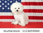 bichon frise dog with american... | Shutterstock . vector #1113653060