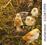 Small photo of Newly feathered white, black and Isa Brown chickens have been scratching for worms and bugs in an enclosed fowl yard in early spring.