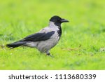 Hooded Crow  Corvus Cornix  In...