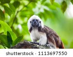 A Cotton Top Tamarin Monkey On...