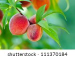 Sweet Peach Fruits Growing On ...