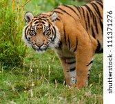 Head Shot Of Sumatran Tiger In...