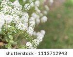 white flowers on green flurry... | Shutterstock . vector #1113712943