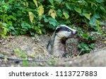 badger  european  native badger ... | Shutterstock . vector #1113727883
