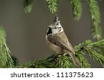 Crested Tit On A Pine Tree