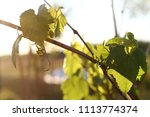young vine with the first small ... | Shutterstock . vector #1113774374