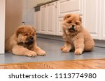 two chow chow puppy in the... | Shutterstock . vector #1113774980