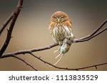 Stock photo ferruginous pygmy owl is a small owl it is the most widely distributed pygmy owl and is probably 1113835529