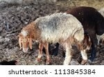 sheep for the feast of... | Shutterstock . vector #1113845384