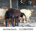 sheep for the feast of... | Shutterstock . vector #1113845390