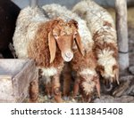 sheep for the feast of... | Shutterstock . vector #1113845408