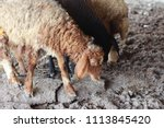 sheep for the feast of... | Shutterstock . vector #1113845420