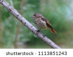 a redstart s baby bird is... | Shutterstock . vector #1113851243