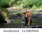 the siberian tiger  panthera... | Shutterstock . vector #1113859403