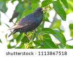 starling  sturnus vulgaris  on... | Shutterstock . vector #1113867518