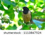 rosy starling  pastor roseus ... | Shutterstock . vector #1113867524