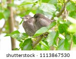 starling chick  first summer ... | Shutterstock . vector #1113867530