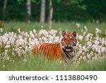 the siberian tiger  panthera... | Shutterstock . vector #1113880490