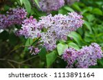 bright lilac flowers on a tree   Shutterstock . vector #1113891164