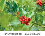 Holly Tree Branch With Red...