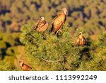 Group Of Griffon Vultures  Gyps ...
