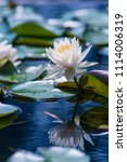 Beautiful Lotus Reflection On...