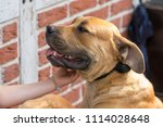purebred big brown south... | Shutterstock . vector #1114028648